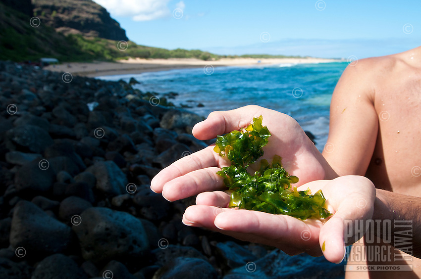 A man holds limu pahapaha (or lipahapaha, sea lettuce, seaweed, algae) in his hands for examination at Polihale Beach on Kaua'i.