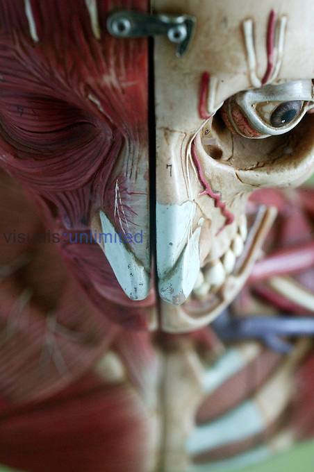 An anatomical model showing the skeletal and muscular structures of the face and upper torso. The detail extends to arteries and veins. Anatomical models are commonly used for training purposes as they make for clearer demonstration than anatomical specimen. Royalty Free