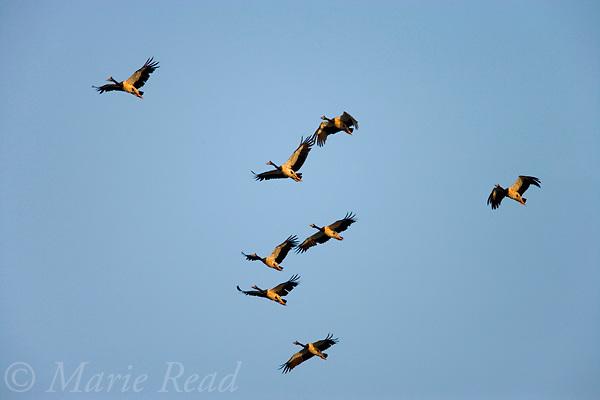 Magpie Geese (Anseranas semipalmatus) flock in flight, Mamukala Wetlands, Kakadu National Park, Northern Territory, Australia.