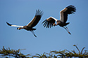 Tanzania, Ngorongoro Conservation Area, Ndutu, crowned cranes in flight