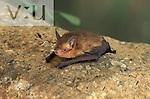 A Little Yellow Bat (Rhogeessa parvula) Alamos, Sonora, Mexico