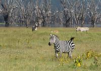 Grant's Zebras, Equus quagga boehmi, at the shore of Lake Nakuru in Lake Nakuru National Park, Kenya