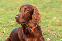 Headshot of Irish Setter lying down with blurred out background