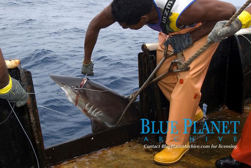 Fishermen sacrifice silky shark, Carcharhinus falciformis, Offshore commercial longline shark fishing, Brazil, Atlantic Ocean