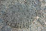 Achirus lineatus, Lined sole, Roatan