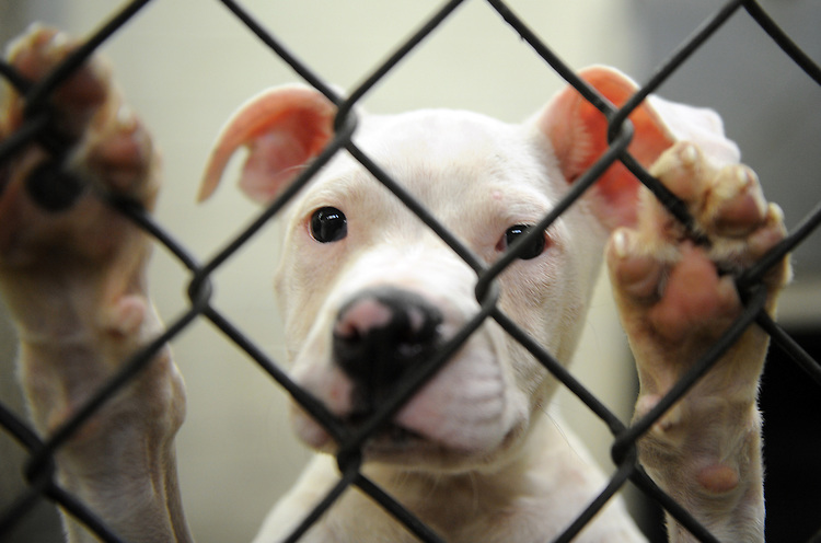 """""""Wally,"""" a pit bull puppy, waits to be adopted at the DC Animal Shelter on New York Ave., NE, June 16, 2008."""