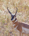 large pronghorn antelope buck in Montana