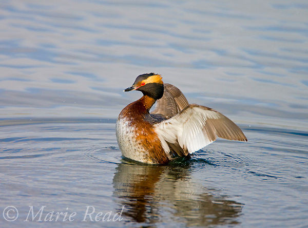 Horned Grebe (Podiceps auritus) flapping its wings, Bolsa Chica Ecological Reserve, California, USA