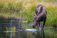 Moose at Rocky Mountain National Park, Colorado