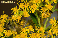 "1210-0903  Camouflaged Ambush Bug (Phymata spp.) Adult on Goldenrod Hunting a Honeybee (Apis mellifera) ""Virginia""  © David Kuhn/Dwight Kuhn Photography"