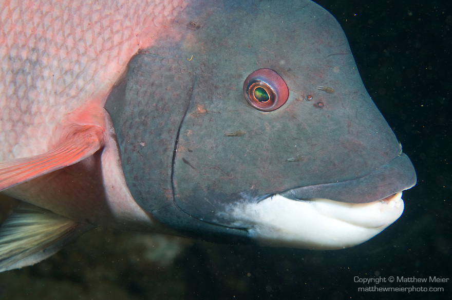 Catalina Island, Channel Islands, California; portrait of large, male California Sheephead (Semicossyphus pulcher) fish, Casino Point dive site , Copyright © Matthew Meier, matthewmeierphoto.com All Rights Reserved
