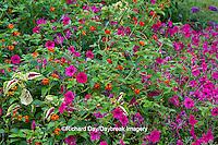 63821-22005 Red Spread Lantana (Lantana camara) Pink Tidal Wave Petunias (Petunia) & Sun Coleus, Marion Co., IL