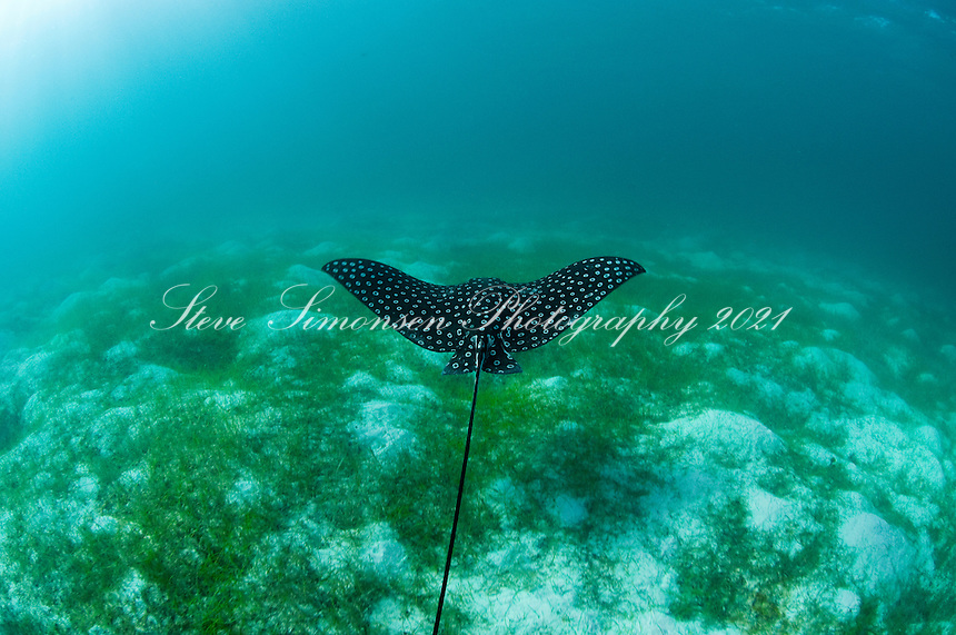 Spotted Eagle Ray (Aetobatus narinari)<br /> Hawksnest Bay<br /> Virgin Islands National Park<br /> St. John<br /> U.S. Virgin Islands