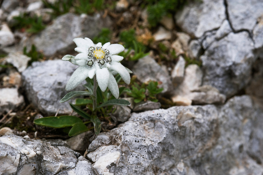 Edelweiss (Leontopodium alpinum)<br /> Triglav National Park, Slovenia<br /> July 2009