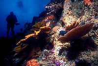 Fan corals and cup corals adorn a rocky drop off. In the distance a Scuba diver and his bubbles are silhouetted in a blue sea, underwater, coral. Tagus Cove, Isabela Isl. Galapagos Islands Ecuador Pacific Ocean, 650 miles west of S. Am.