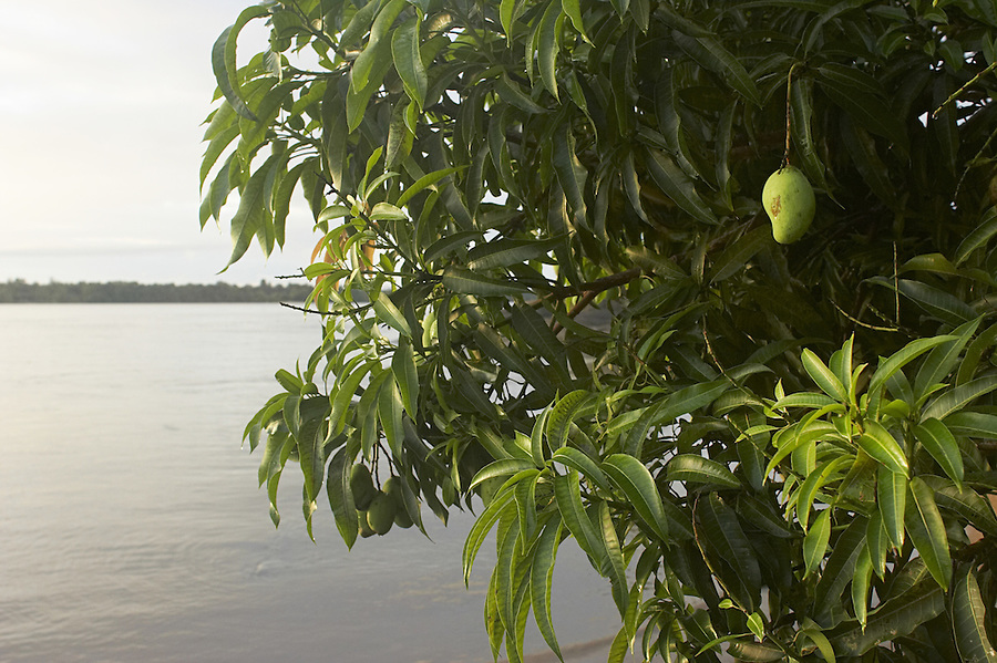 Green mango hanging from a tree above the Marowijne River near the village of Bigiston, Suriname.