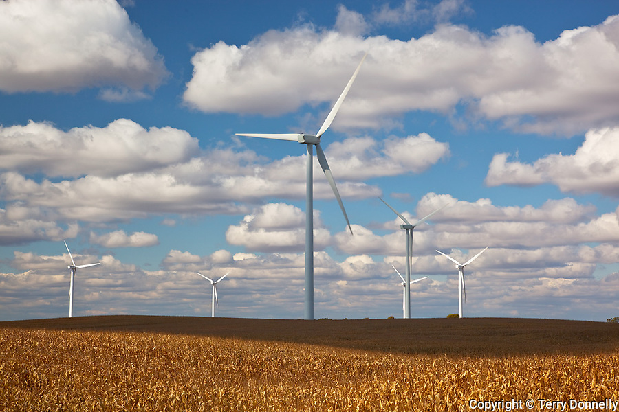 Bureau County, IL<br /> Wind mills in a field of drying corn on the Crescent Ridge windfarm, cumulus clouds, autumn