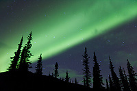 Green bands of northern lights, aurora borealis over a spruce trees, Brooks Range, Arctic, Alaska