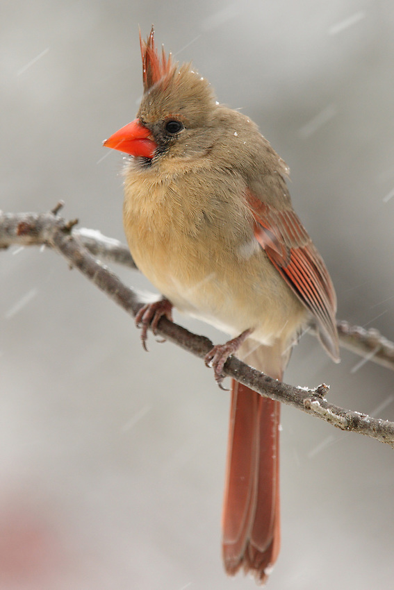 Female Cardinal in a driving snow storm.