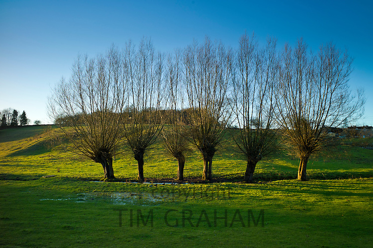 Line of willow trees with withy branches by stream in The Cotswolds in Oxfordshire, UK