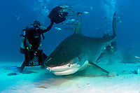 tiger shark, Galeocerdo cuvier, with divers and photographers, feeding chum, Little Bahama Bank, Bahamas, Caribbean, Atlantic