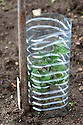 Cut-down plastic drinks bottles used as cloches for tomato seedlings.