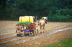Amish women planting pumpkin sets. Elimsport, PA. 2003
