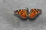 Altiplano, Bolivia, butterfly (Audre erostratus?) floating on hotspring, Eduardo Abaroa Andean Fauna National Reserve