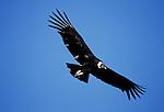 Andian Condor (Vultur gryphus) in flight
