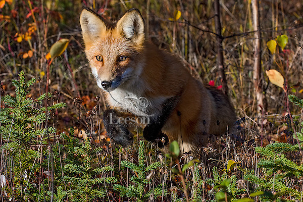 Red Fox (Vulpes vulpes) hunting voles near the Yukon/British Columbia border.  Sept.