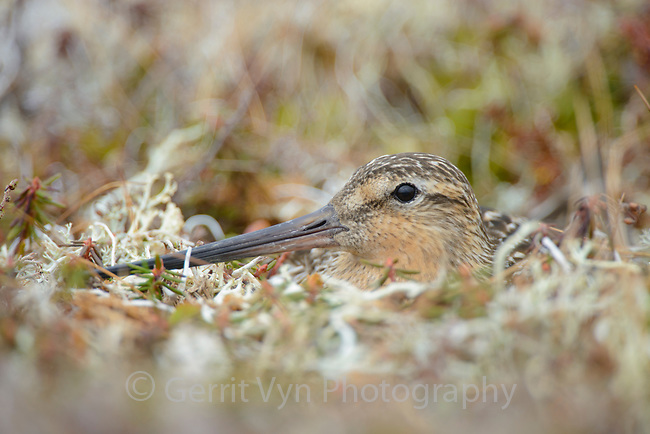 Male Bar-tailed Godwit (Limosa lapponica) incubating its nest on the Alaskan breeding grounds. Males and females split incubation duties at roughly half-day intervals. Yukon Delta National Wildlife Refuge, Alaska. June.