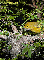 WB07-009x  Yellow Warbler - female making nest, note nesting material in mouth - Dendroica petechia