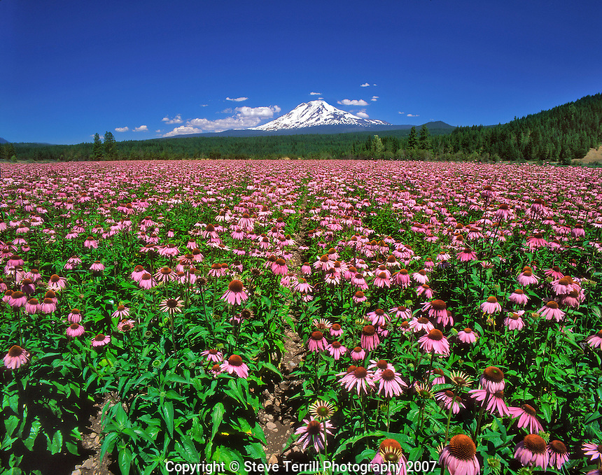 Field of echinacea flowers below Mt. Adams in Klickitat County, Washington