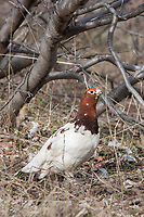 Willow ptarmigan, National Petroleum Reserve, Alaska.