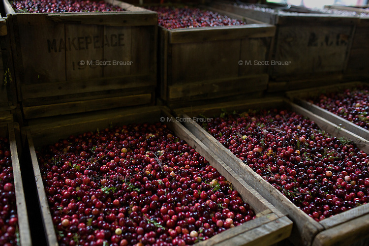 Cranberries wait in wooden boxes after harvest during the AD Makepeace Company's 10th Annual Cranberry Harvest Celebration in Wareham, Massachusetts, USA. AD Makepeace is the world's largest producer of cranberries. These cranberries, wet harvested with varied colors, are destined for processing into juice, flavoring, canned goods and other processed foods.