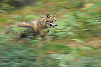 Grey Wolf (Canis lupus), adult running captive, Bavarian Forest, Bavaria, Germany