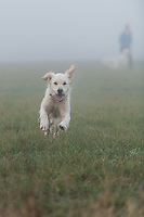 WEATHER PICTURE ENGLAND<br /> A woman walks her two golden retriever dogs in thick freezing fog in Redbourn, Hertfordshire. UK. Travellers have been warned to take caution as fog has covered large areas of the UK. Friday 30th December 2016.