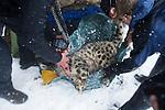 Snow Leopard (Panthera uncia) biologist, Shannon Kachel, veterinarian, John Ochsenreiter, and volunteer, David Cooper, weighing male during collaring, Sarychat-Ertash Strict Nature Reserve, Tien Shan Mountains, eastern Kyrgyzstan