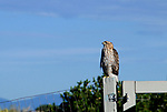 Coopers hawk on fence searching the skies.
