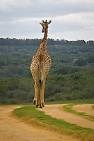 Thursday July 9, 2010. Seaview Game and Lion Park has a unique 180 degree view of the Indian Ocean and is set in pristine coastal bush land. It is home to the White lion, giraffe, wilderbeest, zebra, antelope, jackle, meerkat and lynx. The park also has tigers and crocodiles. It is situated 20 minutes drive south of Port Elizaberth, Eastern Cape, South Africa.  Photo: joliphotos.com
