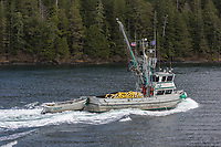 commercial fishing boat relocates during the Sitka Sound Herring Sac Roe fishery