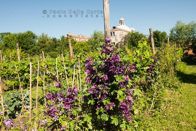 Venezia L'orto sinergico coltivato da Michele Savorgnano. Sono 300 le piante i fiori coltivati in questo spazio. Nell'orto si trovano ancje le vigne dell' Associazione Laguna del Bicchiere.