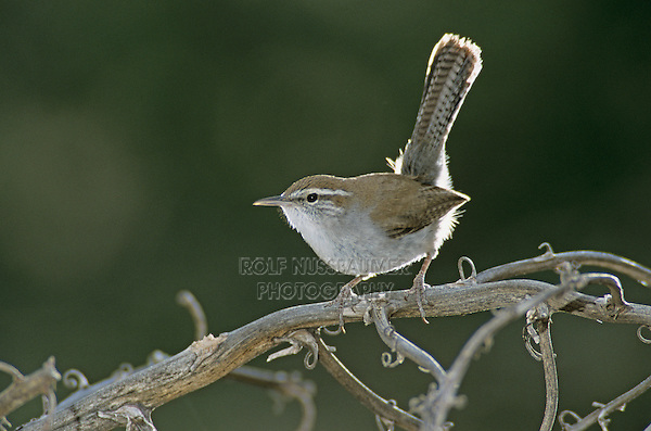Bewick's Wren, Thryomanes bewickii, adult, Starr County, Rio Grande Valley, Texas, USA