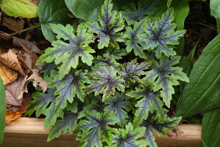 Tiarella 'Sugar 'n' Spice' foliage . Foamflower