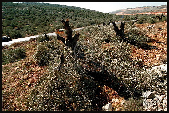 ,A line of cut olive trees is seen in the Palestinian village of Hares in the West Bank. At night Israeli Army put the Village under curfew and cut as much as 400 olive trees, part of them more than 100 years old. IDF explained their action as part of preventing the Palestinians of Hares from throwing stones to the settlers and army cars on the road. Photo by Quique Kierszenbaum....