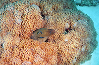 Giant moray (Gymnothorax javanicus), and cleanerfish, Sabre-toothed blenny, (Aspidontus taeniatus), Red Sea, Egypt, Africa