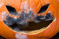 DC09-646z   Jack-o-Lantern Pumpkin placed in garden after Halloween. Molds growing on face,  Black Bread Mold, Rhizopus stolonifer