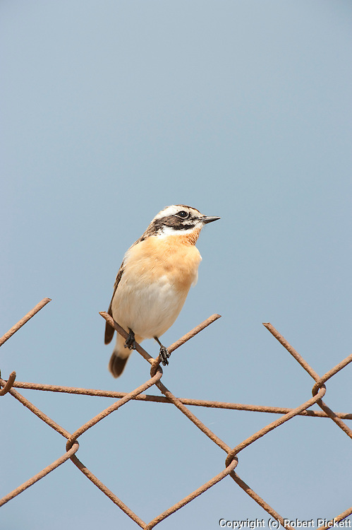 Whinchat, Saxicola rubetra, Lesvos Island, Greece, Passage Migrant, Spring, perched on wire fence , lesbos