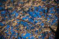 130413_Cherry_Blossoms