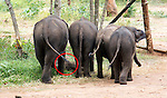 TTouching elephant story - <br /> <br /> Namal and Hercules (smaller of the two)  - two &quot;disabled&quot; baby elephants that have formed a special friendship at Elephant Transit home in Sri Lanka.<br /> Namal has a false leg after being shot- probably caught in crossfire by ivory poachers - he was rescued by rangers and taken to elephant hospital where he underwent life saving surgery. He was later fitted with a prosthetic leg.<br /> <br /> Hercules was caught in a trap unscrupulous pet hunters, but again was rescued by national park rangers before being captured. Sadly he  now has a deformed kneed due to his injuries.<br /> A &quot;transit home&quot; is different to an &quot;orphanage&quot; because it is planned to return all the elephants to the wild once they are strong enough. But whether these two will ever be strong enough remains to be seen. <br /> There are wild herds of elephants in Uda Walawe National Park in the south of the island to which the transit home is attached.<br /> <br />  Many of the other 20 or so elephants were rejected by their mothers or their mothers were killed by poachers. <br /> Hercules and Namal are led out before the main group to protect them from the scrum for milk feeding. The main bunch follows them out and the pair are moved to the centre of the compound for safety. <br /> After milk feeding, grasses are spread around for elephants to feed on where they jockey for the best pickings three times a day. <br /> Again Hercules and Namal are kept back and allowed to stay after the main bunch has been led out so they can get their feed.<br /> During the main feeding Namal, 10 months old,  is very nervous due to his plastic leg . But plucky Hercules, just four months, ventures into the main bunch to get a drink from a nearby pond. <br /> Heartbreakingly he stumbles and drops several times to one knee. In the end the step down to the pond proves too much for him and he gives up.<br /> On the back back through the crowd to his chum Namal, Hercules is knocked my another elephant and falls over. A crowd of elephants gathers around him and it is feared h